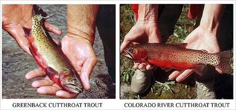 CutthroatTrout.jpg