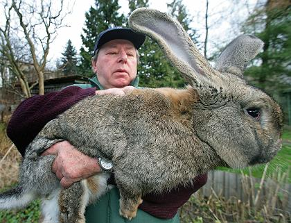 RabbitGiantGerman.jpg